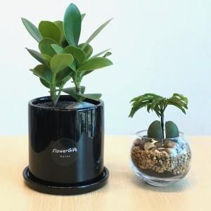 Flower Shop Seoul Plant Set Clusia amd Green Bowl Palm Tree