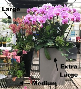 Flower Gift Korea Orchids Sizes