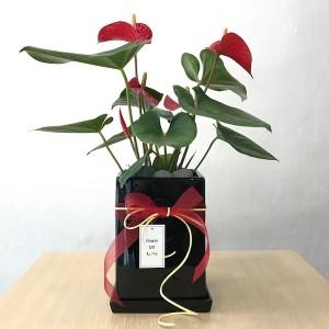 Korea Flower Shop Anthurium Gift for Business Opening