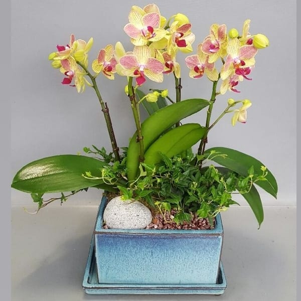 Flower Gift Korea Orchid 110 A
