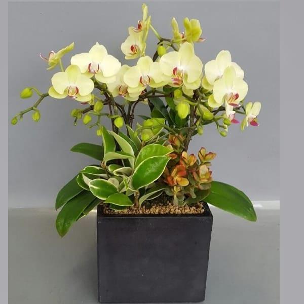 Flower Gift Korea Orchid 110 C